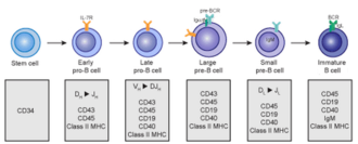 B cell - Early B cell development: from stem cell to immature B cell