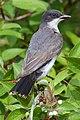 Eastern Kingbird (162782071).jpeg
