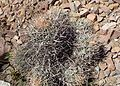 Echinocactus polycephalus kz2.jpg