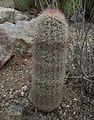 Echinocereus dasyacanthus.jpg