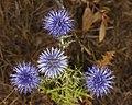 Echinops ritro, Sète 01.jpg