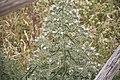 Echium italicum-3426.jpg