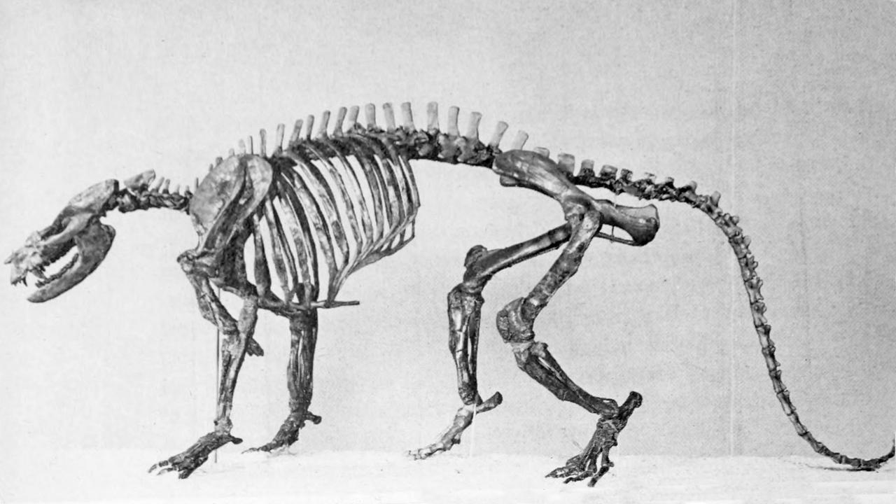 Ectoconus skeletal 2.png