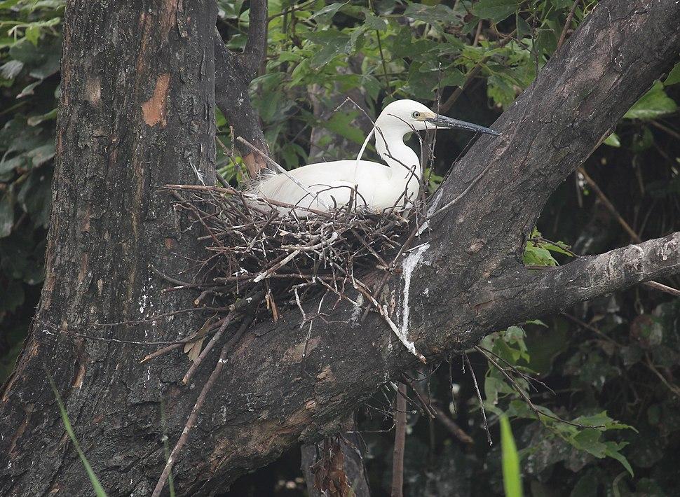 Egretta garzetta (nest s2)
