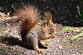 Eichhörnchen (Sciurus vulgaris) Konstantinhügel Wiener Prater 2020-07-12 i.jpg