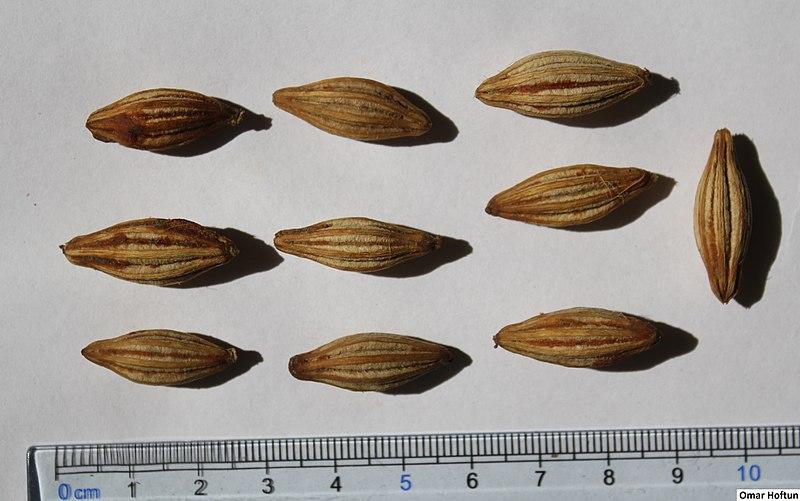 File:Elaeagnus latifolia seeds, by Omar Hoftun.jpg