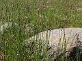 Eleocharis uniglumis Oulu, Finland 13.06.2013.jpg