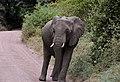 Elephant, Lake Manyara National Park (2) (28504956351).jpg