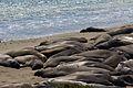 Elephant seals, Piedras Blancas 10.jpg