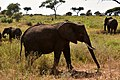 Elephants, Tarangire National Park (22) (28593912282).jpg