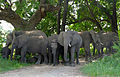 Elephants (Loxodonta africana) resting in the shade (16172204874).jpg