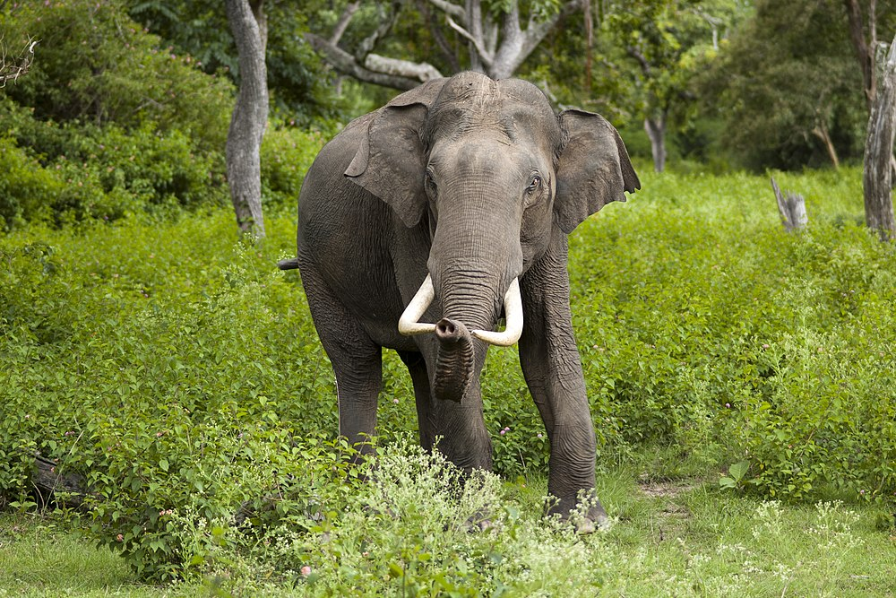 The average litter size of a Asian elephant is 1