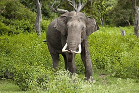 A male ایشیائی ہاتھی (Elephas maximus) in the wild at Bandipur National Park in India