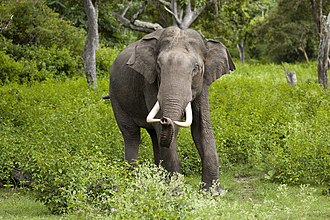 Asian elephant - A male Asian elephant in Bandipur National Park, India