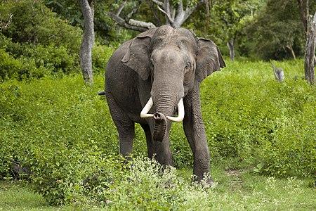 Elephas maximus (Bandipur).jpg