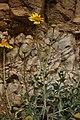 Encelia actoni 7935.JPG