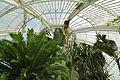Encephalartos altensteinii-IMG 5439.jpg