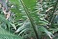 Encephalartos gratus 0zz.jpg