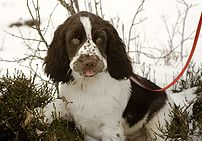 English Springer Spaniel from Norway