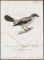 Enneoctonus minor - 1800-1812 - Print - Iconographia Zoologica - Special Collections University of Amsterdam - UBA01 IZ16600441.tif