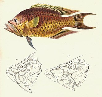 Fish jaw - The sling-jaw wrasse has the most extreme jaw protrusion of all fishes.