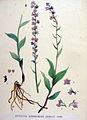Epipactis atrorubens — Flora Batava — Volume v19.jpg