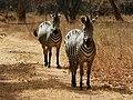 Equus quagga boehmi (couple).jpg