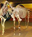 Equus stenonis 1.JPG