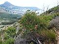 Erica abietina subsp. abietna.jpg