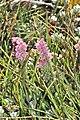 Erica alopecurus (Ericaceae) (6932195141).jpg