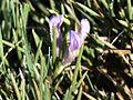 Erinacea anthyllis (2).jpg