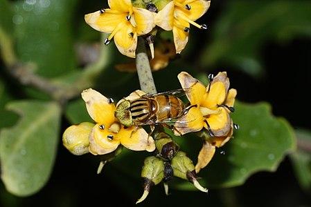 Eristalinus quinquestriatus