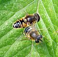 Eristalis nemorum. - Flickr - gailhampshire.jpg