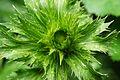 Eryngium alpinum bud 2009-07-05 DSC0882.JPG