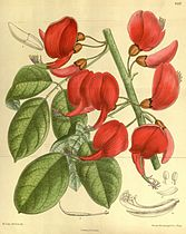 Erythrina pulcherrima 140-8532.jpg