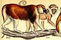 Erythrocebus poliophaeus 2.jpg