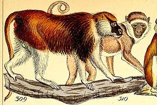 Blue Nile patas monkey Species of Old World monkey