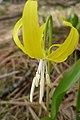 Erythronium grandiflorum ssp. grandiflorum with white anthers.jpg