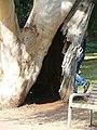 Eucaliptus - arbre d'interès local - parc de Vil·la Amèlia P1280083.jpg