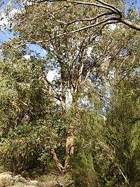 Eucalyptus baueriana