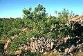 Eucalyptus herbertiana.jpg