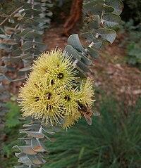 Eucalyptus kruseana (Bookleaf Mallee)