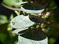 Eucalyptus with Macro Lens (2359074041).jpg