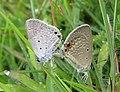 Euchrysops cnejus Fabricius, 1798 – Gram Blue mating at Madayippara (12).jpg