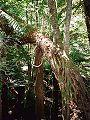 Eucryphia moorei & Dicksonia Monga.jpg