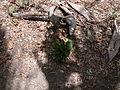 Eulophia guineensis 0001.jpg