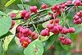 Euonymus with fruit, Scarlett Mills, Toronto.jpg