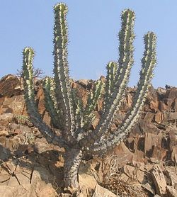meaning of xerophyte