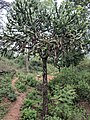 Euphorbia antiquorum 9.jpg
