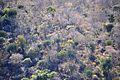 Euphorbia confinalis, e, Lebombo.jpg